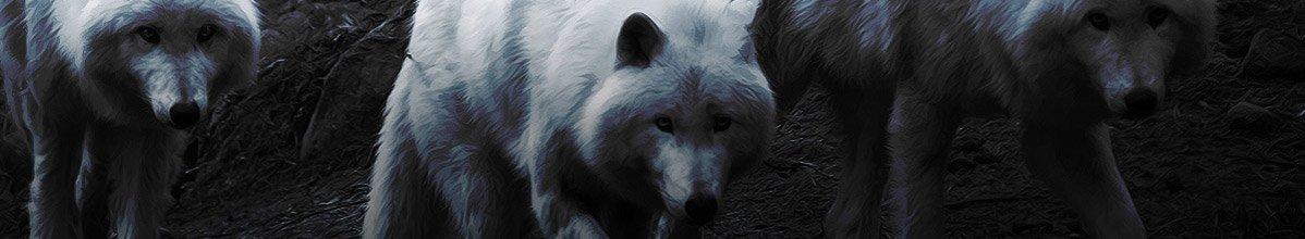 Drei weiße Wölfe im geheimnisvollen Mondschein